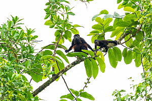 Mantled howler monkey (Alouatta palliata) female and young in tree, La Selva Biological research station, Heredia, Costa Rica  -  David Pattyn