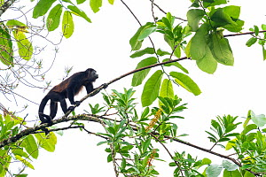 Mantled howler monkey (Alouatta palliata) in tree, La Selva Biological research station, Heredia, Costa Rica  -  David Pattyn