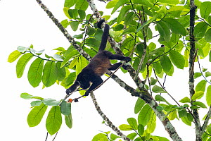 Mantled howler monkey (Alouatta palliata) foraging for fruit in tree, La Selva Biological research station, Heredia, Costa Rica  -  David Pattyn