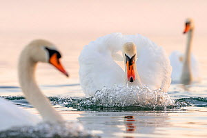 Mute swan (Cygnus olor) in a threathening territorial pose and attacking a rival, Lake Geneva, near Geneva, Switzerland, March  -  David Pattyn