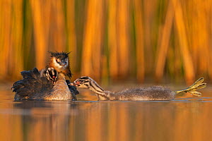 Great crested grebe (Podiceps cristatus) adult and two young chicks Valkenhorst Nature Reserve, Valkenswaard, The Netherlands, May  -  David Pattyn