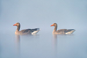 Greylag goose (Anser anser) on a misty morning, Valkenhorst Nature Reserve, Valkenswaard, The Netherlands, May  -  David Pattyn