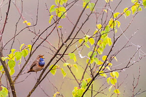 Bluethroat (Luscinia svecica) singing Malpie Nature Reserve, Valkenswaard The Netherlands, May  -  David Pattyn