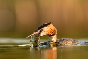Great crested grebe (Podiceps cristatus) adult with Pumpkinseed sunfish (Lepomis gibbosus) caught to feed to one of its young. The fish species is an introduced invasive species from North America, Va...  -  David Pattyn