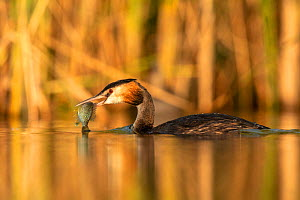 Great crested grebe (Podiceps cristatus) adult with Pumpkinseed sunfish (Lepomis gibbosus) caught to feed to one of its young. The fish species is an introduced invasive species from North America. Va...  -  David Pattyn