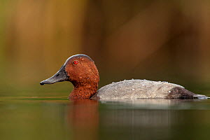 European pochard (Aythya ferina) drake, Valkenhorst Nature Reserve, Valkenswaard, The Netherlands, August.  -  David Pattyn