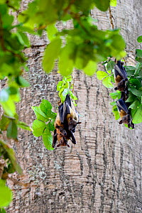 Fruit bat (Pteropodidae) group roosting in tree. Abomey city centre, Benin, 2020.  -  Enrique Lopez-Tapia