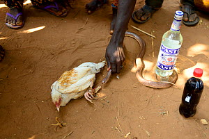 Snake held near to tied up chicken.. Chicken will be sacrificed in a voodoo ceremony. Benin, 2020.  -  Enrique Lopez-Tapia