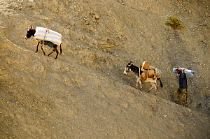 Man and two donkeys carrying goods up steep slope to Lingshed Monastery, Zanskar, Ladakh, India. September 2011.  -  Enrique Lopez-Tapia
