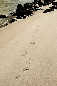 Asian black bear (Ursus thibetanus) footprints in on sandy bank of Zanskar River. Approximate altitude of 3400m. Ladakh, India. September.  -  Enrique Lopez-Tapia