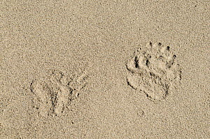 Asian black bear (Ursus thibetanus) footprints in sand. On shore of Zanskar River at an altitude of approximately 3400m. Ladakh, India. September.  -  Enrique Lopez-Tapia