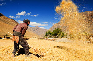 Woman threshing by throwing straw into air with rake, in valley surrounded by mountains. At an altitude of 3730m. Zanskar Valley, Ladakh, India. September 2011.  -  Enrique Lopez-Tapia