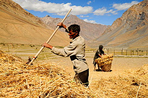 Man raking straw, another man collecting straw up in background. In valley surrounded by mountains. At an altitude of 3730m. Pishu, Zanskar Valley, Ladakh, India. September 2011.  -  Enrique Lopez-Tapia