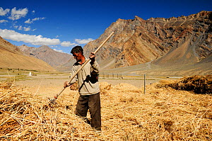 Man raking straw in valley, surrounded by mountains. At an altitude of 3730m. Pishu, Zanskar Valley, Ladakh, India. September 2011.  -  Enrique Lopez-Tapia