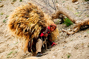 Ladakhi woman carrying cereal harvest on her back along slope, at altitude of 3900m. Honupatta, Ladakh, India. September 2011.  -  Enrique Lopez-Tapia