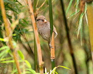 Brown parrotbill (Cholornis unicolor) perched on Bamboo stem. North Sikkim, India. April.  -  Ashish & Shanthi Chandola