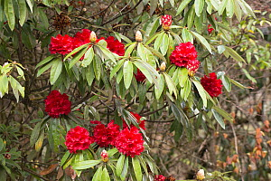 Rhododendron (Rhododendron sp) flowering. North Sikki, India. April.  -  Ashish & Shanthi Chandola