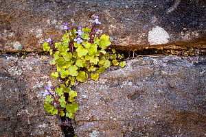 Ivy-leaved toadflax (Cymbalaria muralis), growing on the wall of the 900-year-old Tintern Abbey. Monmouthshire, England, UK. April.  -  Chris Mattison