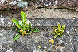 Rusty-back fern (Asplenium ceterach / Ceterach officinarum) growing on a stone wall. Catbrook, Monmouthire, Wales, UK. April.  -  Chris Mattison