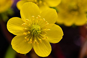 Winter aconite (Eranthis hyemalis) Naturalised in the UK. Monmouthshire, February. Focus stacked image.  -  Chris Mattison