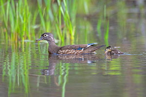 Wood duck (Aix sponsa). Mother with nely tatched chick. Spring in Acadia National Park, Maine, USA. May.  -  George Sanker
