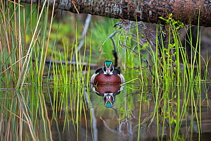 Wood duck (Aix sponsa) male in breeding plumage. Early spring in Acadia National Park, Maine, USA. June.  -  George Sanker