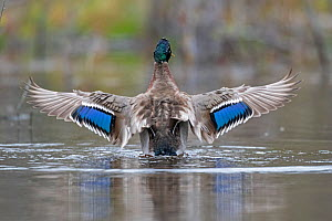 Mallard (Anas platyrhynchos) wings spread showing irridescent blue wing speculum, Acadia National Park, Maine, USA. May.  -  George Sanker