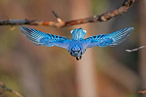 Blue jay (Cyanocitta cristata) flying, head on, Acadia National Park, Maine, USA. May.  -  George Sanker