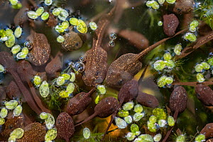 Common frog tadpoles (Rana temporaria) in pond with duckweed. London, UK, April.  -  Georgette Douwma