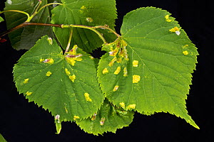 Blisters of Lime felt gall mite (Eriophyes leiosoma) on the upper surface of the young leaves of small-leaved lime (Tilia cordata)  -  Nigel Cattlin