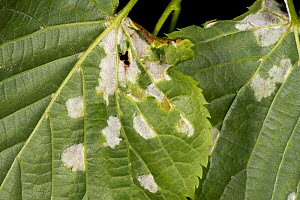 White blisters of lime felt gall mites (Eriophyes leiosoma) on the lower surface of the young leaves of small-leaved lime (Tilia cordata)  -  Nigel Cattlin