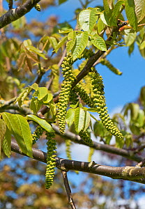 Male catkins on a walnut tree (Juglans regia) with young leaves in spring, Berkshire, England, UK, May  -  Nigel Cattlin