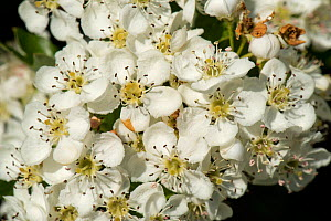 May or hawthorn blossom (Crataegus monogyna) white flowers on a small fragrant tree typical of spring, Berkshire, England, UK, May  -  Nigel Cattlin