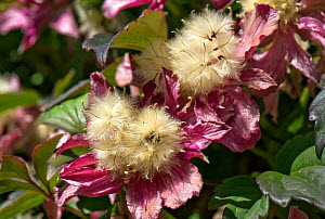 Pink flowers and fluffy seedheads of Clematis montana 'Broughton Star' a large climbing garden shrub, Berkshire, England, UK, May  -  Nigel Cattlin