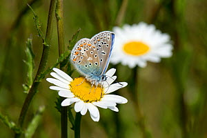 Common blue butterfly (Polyommatus icarus) malepollinating and taking nectar from an ox-eye daisy flower, Berkshire, England, UK, May  -  Nigel Cattlin