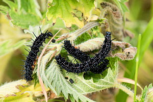 Peacock butterfly (Aglais io) caterpillars feeding on stinging nettle (Urtica dioica) leaves, Berkshire, England, UK, June  -  Nigel Cattlin