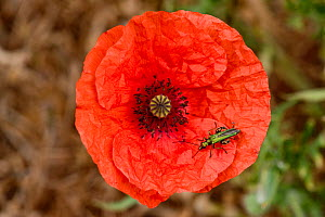 Swollen-thighed or thick-legged flower beetle (Oedemera nobilis) adult male beetle on red flower of a long-headed poppy (Papaver dubium)  -  Nigel Cattlin