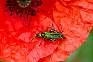 Swollen-thighed / Thick-legged flower beetle (Oedemera nobilis) adult male beetle on red flower of a long-headed poppy (Papaver dubium)  -  Nigel Cattlin