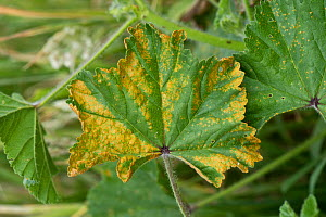 Mallow rust (Puccinia malvacearum) necrotic lesions on the upper surface of a common mallow (Malva neglecta) leaf, Berkshire, England, UK, June  -  Nigel Cattlin
