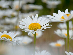 Oxeye daisies (Chrysanthemum vulgare) a single flower in a group of daisies with white ray and yellow disc florets, Berkshire, England, UK, June  -  Nigel Cattlin