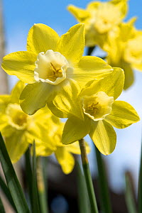 Flowers of a jonquilla daffodil Narcissus 'Pipit' yellow perianth segments and pale corona or trumpet against a blue sky, April  -  Nigel Cattlin