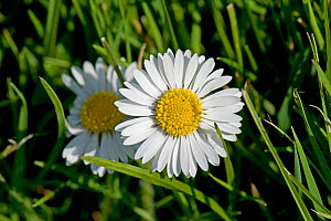 Flower of a Common daisy (Bellis perennis) with white ray and yellow disc florets growing in a garden lawn, Berkshire, England, UK, April ,  -  Nigel Cattlin