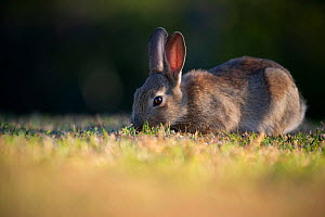 Young Rabbit (Oryctolagus cunniculus)grazing, Wiltshire, UK. May.  -  TJ Rich