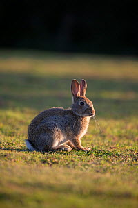 Young Rabbit (Oryctolagus cunniculus) Wiltshire, UK. May.  -  TJ Rich