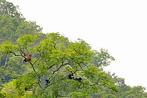 Cao vit gibbon (Nomascus nasutus) group of 8 invdividuals in rainforest tree, Vietnam. Critically endangered species, rediscovered in 2002, found only in northern Vietnam and the adjacent region of Ch...  -  Fauna & Flora International