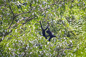 Cao vit gibbon (Nomascus nasutus) adult male and juvenile in rainforest tree, Vietnam. Critically endangered species, rediscovered in 2002, found only in northern Vietnam and the adjacent region of Ch...  -  Fauna & Flora International