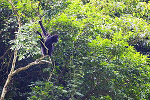 Cao vit gibbon (Nomascus nasutus) adult male in rainforest tree, Vietnam. Critically endangered species, rediscovered in 2002, found only in northern Vietnam and the adjacent region of China, with a t...  -  Fauna & Flora International