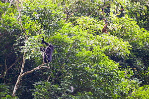 Cao vit gibbon (Nomascus nasutus) adult male and female in rainforest tree, Vietnam. Critically endangered species, rediscovered in 2002, found only in northern Vietnam and the adjacent region of Chin...  -  Fauna & Flora International