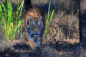 RF - Bengal tiger (Panthera tigris tigris) female stalking through forest. Bandhavgarh National Park, Madhya Pradesh, Central India. (This image may be licensed either as rights managed or royalty fre...  -  Nick Garbutt