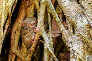 Spectral tarsier (Tarsius spectrum) in day-time roost tree (Ficus sp.). Tangkoko National Park, Sulawesi, Indonesia.  -  Nick Garbutt
